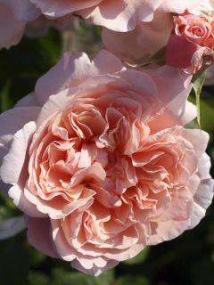 Rosier Grimpant Rose de Tolbiac ®