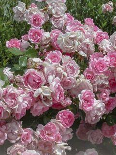 Rosier nain Bordure Rose en racines nues.