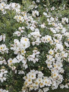 Rosier à massif couvre-sol 'Rose Du Soleil'