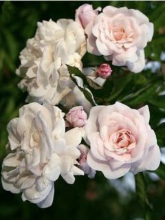 Rosier Marie Pavie - Rosa (x) polyantha