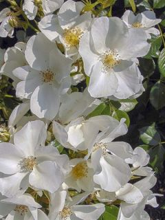 Rosier à massif 'Sans Contrainte Nectar Garden Escimo Korm