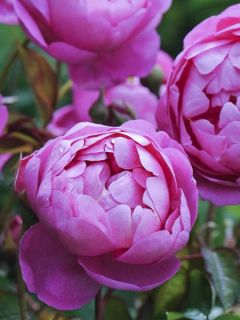 Rosier anglais Royal Jubilee® - Auspaddle