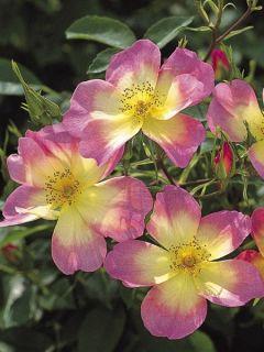 Rosier anglais The Alexandra rose® - Ausday