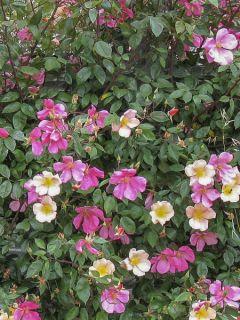 Rosier chinensis Mutabilis - Rosier Ancien botanique