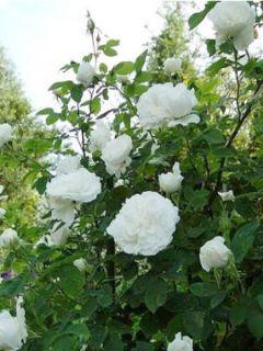 Rosier ancien Mme Hardy - Rosa (x) damascena