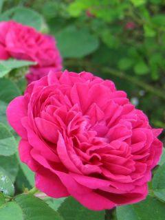 Rosier ancien Rose de Rescht - Rosa (x) damascena