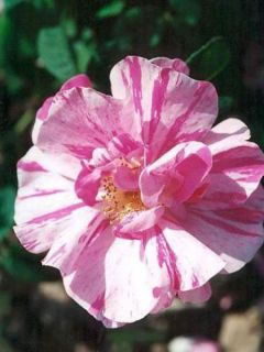 Rosa x gallica Versicolor - Rosier ancien gallique