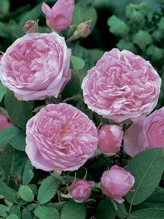 Rosier ancien Comte de Chambord - Rosa (x) Portland