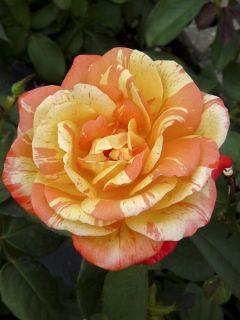 Rosier à Grandes fleurs André Willemse