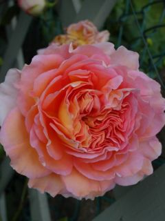 Rosier anglais 'Abraham Darby'