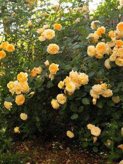 Rosier anglais Crown Princess Margareta® - Auswinter