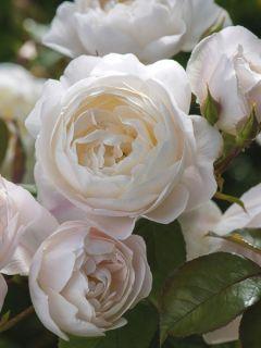 Rosier David Austin Desdemona® - Auskindling