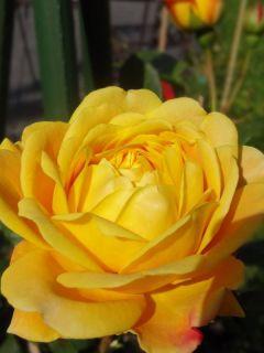 Rosier David Austin Golden Celebration® - Ausgold