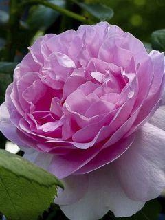 Rosier Anglais Mary Rose