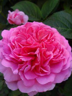 Rosier Anglais Princess Alexandra of Kent® - Ausmerchant