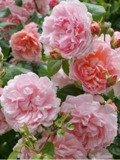 Rosier David Austin Strawberry Hill® - Ausrimini