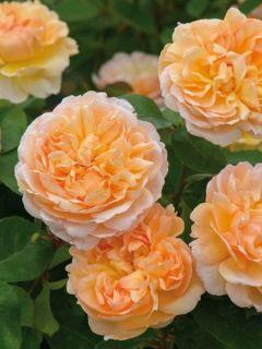 Rosier David Austin The Lady Gardener® - Ausbrass