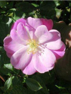 Rosier arbuste Lavender Dream® 'Interlav'