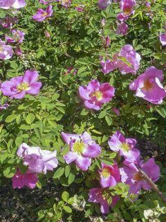 Rosier arbustif Marguerite Hilling