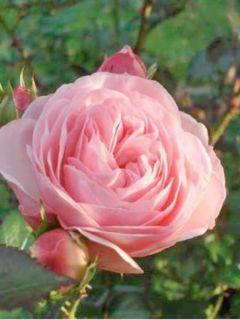 Rosier Arbustif Maria Theresia - Rosa (x) floribunda