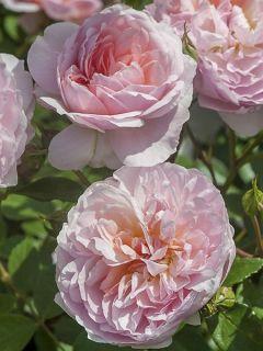 Rosier David Austin Ann Boleyn - Ausecret en racines nues