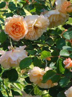 Rosier ancien Buff Beauty - Rosa (x) moschata