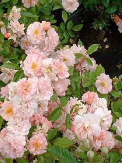 Rosier arbuste moschata 'Cornelia'