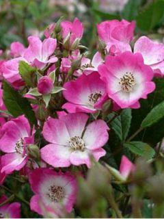 Rosier ancien Mozart - Rosa (x) moschata