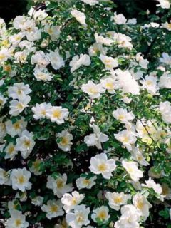 Rosier arbuste 'Nevada'