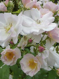 Rosier arbuste 'Sourire d'Orchidée'
