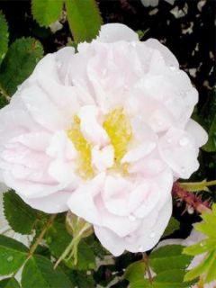 Rosier ancien Stanwell Perpetual - Rosa (x) pimpinellifolia