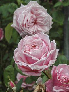 Rosier Grimpant Blossomtime