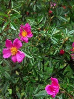 Rosier botanique nitida
