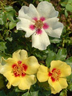 Rosier Cream Babylon Eyes ® - Rosa (x) persica