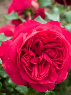 Rosier Grimpant à grandes fleurs Red Eden Rose ® (Eric Tabarly)