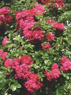 Rosier liane 'Crimson Shower'