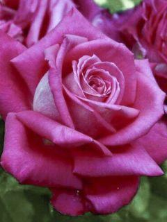 Rosier 'Lolita Lempicka '