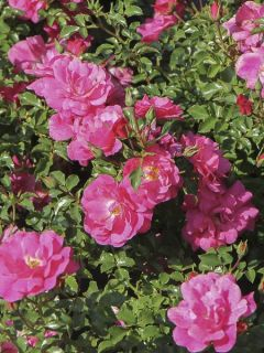 Rosier couvre-sol  Mirato - Rosa (x) polyantha