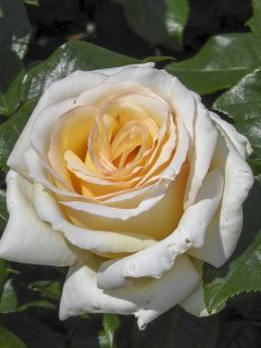 Rosier à grandes fleurs Anastasia