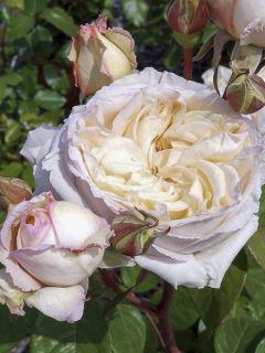 Rosier à grandes fleurs Baie des Anges® en racines nues