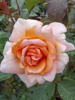 Rosier à grandes fleurs Belle du Seigneur en racines nues.