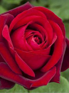 Rosier à grandes fleurs Botero