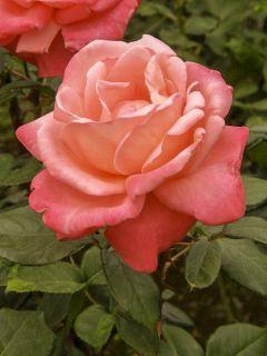 Rosier à grandes fleurs Catherine Deneuve