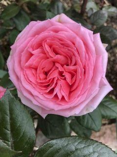 Rosier à grandes fleurs Fragonard en racines nues.