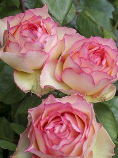 Rosier Jalitah à grandes fleurs