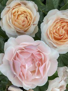 Rosier Jardin des Tuileries - Rosier buisson à fleurs groupées