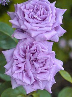 Rosier à grandes fleurs Mamy Blue en racines nues