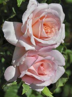 Rosier à grandes fleurs Michele Meilland en racines nues