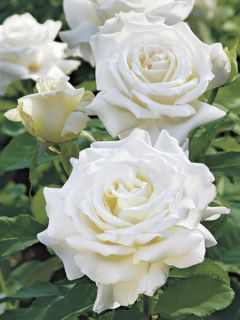 Rosier à grandes fleurs Pape Jean-Paul II en racines nues