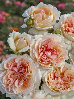 Rosier moderne 'Parfuma Grande Duchesse Louise'